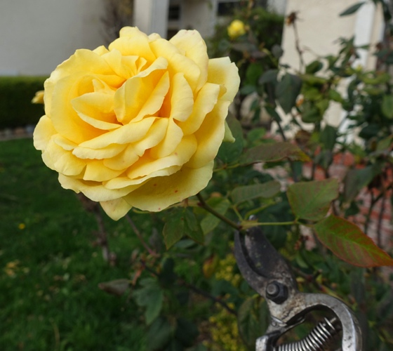 Rose Bloom, St. Patrick Rose, Yellow Rose, Pruning