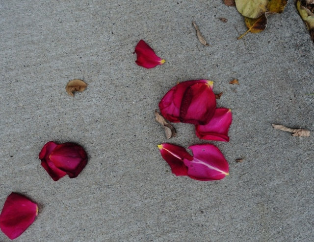 Rose petals in drive way, spent roses, rose blooms, pruning time