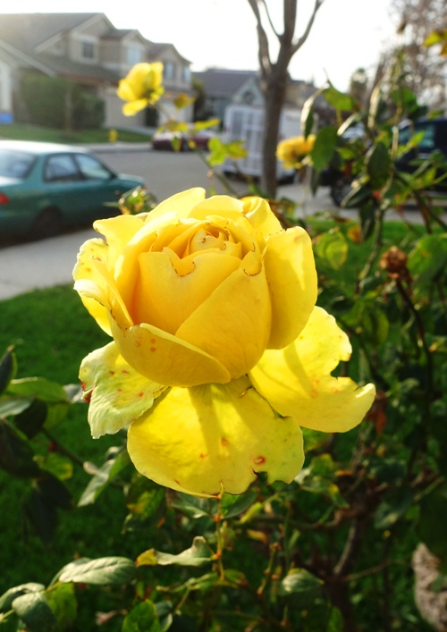 January Rose, Last roses, pruning time, winter yard care