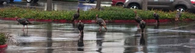 Wild turkeys, Dublin, Morning foraging, Flock of turkeys