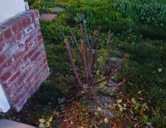 partial pruned, rose pruning, yard work