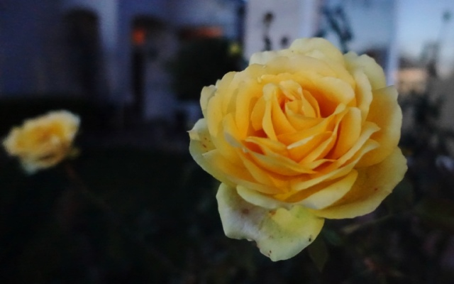 Dusky rose, Yellow rose, St. Patrick rose