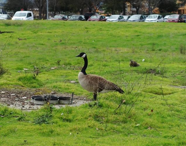 Canadian Goose, Office area, California, Birds