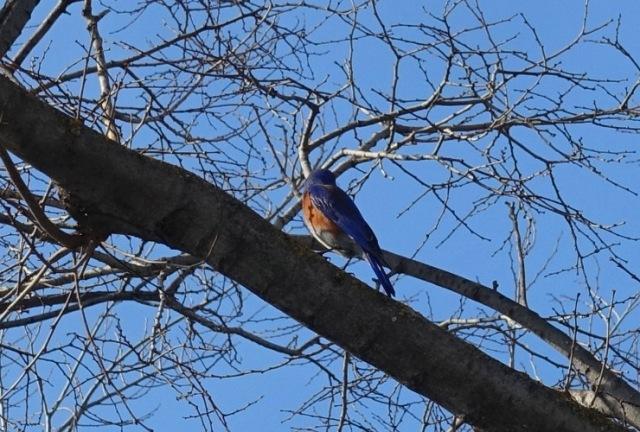 Western Bluebird, birds, California, trees