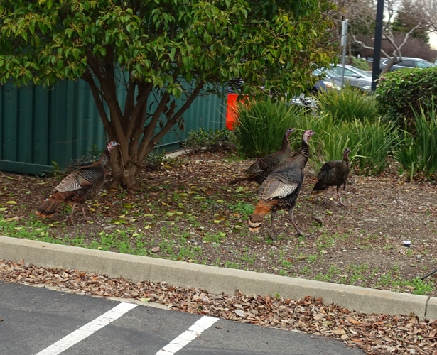 Wild turkeys, rafter of turkey, parking lot