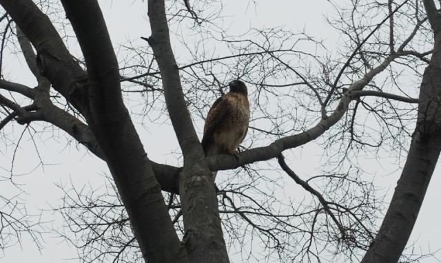 Red Tailed Hawk, hawks, raptor