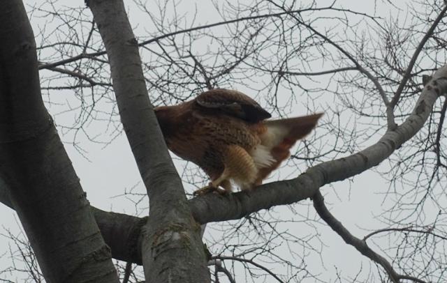 Hawk, Tree, wild life, animals