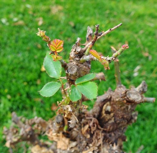 Regrowth, rose bushes, pruning, spring, winter rose bushes