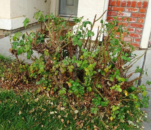 Pruning roses, floribunda, yellow roses