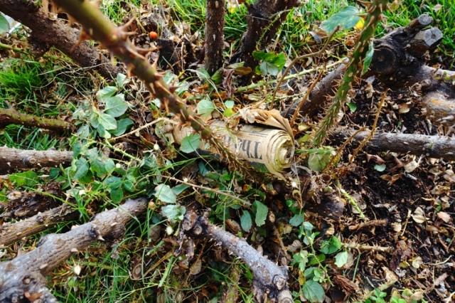 Newspaper in rose bush, Misdelivered paper, rose bushes, pruning