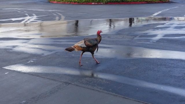 Turkey, Wild Turkey, parking lot, rain