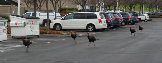 Wild Turkeys, turkey trot, running turkeys, goggle gobble
