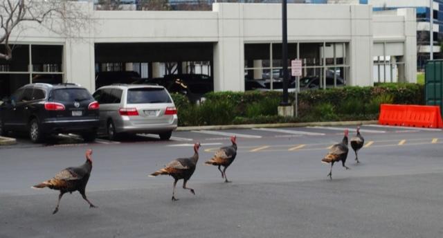 Turkeys, Wild Turkeys, trotting turkeys