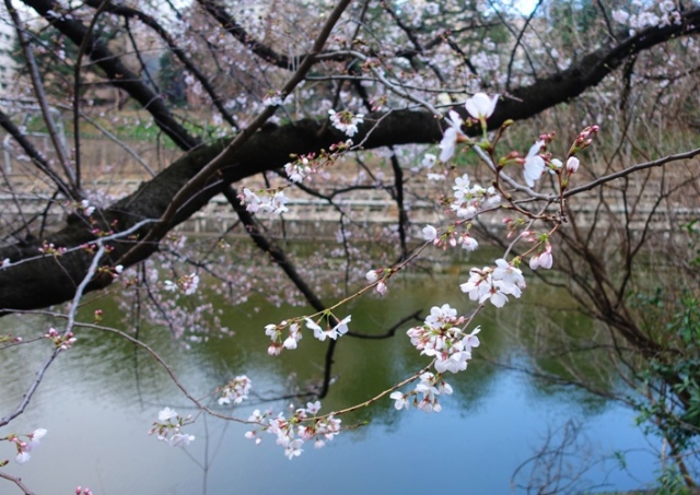 Cherry Blossoms, Tokyo, blossoms, canal, trees