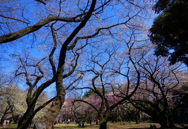 Shinjuku Gardens, Tokyo, Cherry Blossoms, Trees, Spring