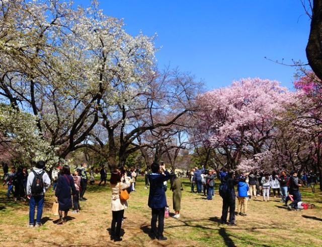 taking pictures, cherry blossoms, Shinjuku-gyoen, Tokyo, cameras