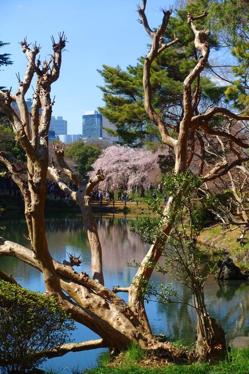 reflections, cherry blossoms, spring, Shinjuku-gyoen, park, pink