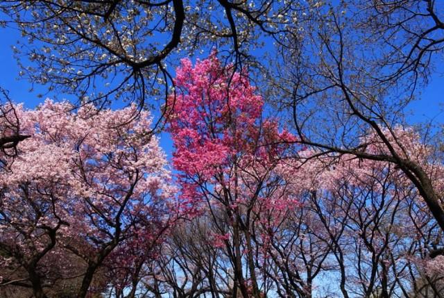 Cherry Trees, Cherry Blossoms, Shinjuku Gyoen, Park, Gardens