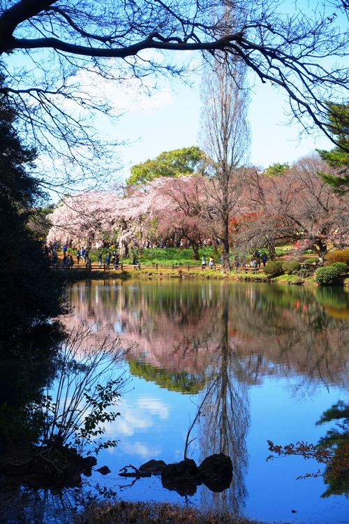 Cherry Blossoms, pond, Shinjuku-gyoen, japan