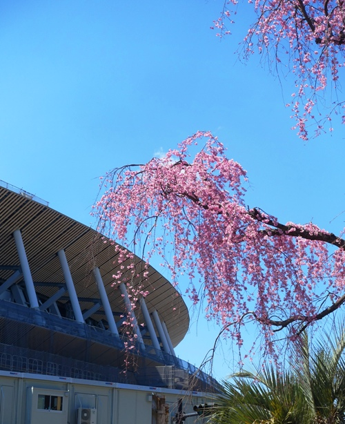 Cherry Blossoms, New National Stadium, Tokyo, 2020 Olympics in Tokyo