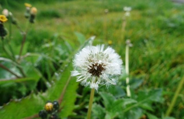 dandelion, seeds, spring