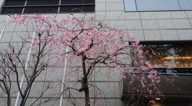 Cherry Blossoms, Sophia University, Tokyo, Japan, Trees