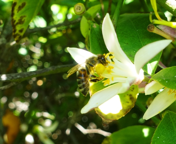 bee, orange tree, pollen
