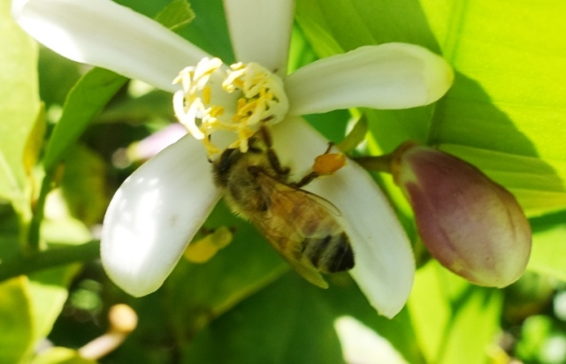 bee, honey bee, pollen basket, orange blossom