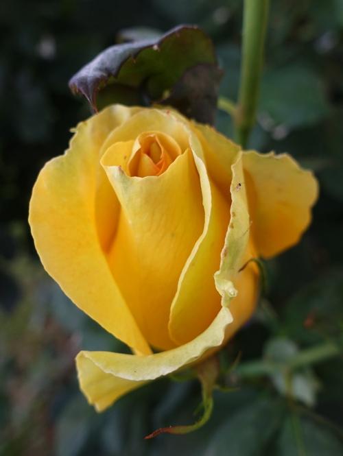 yellow rose bud, opening bud, St. Patrick bud