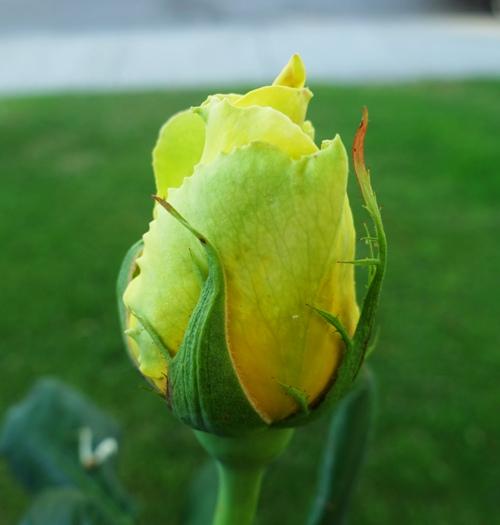 yellow rose bud, st. patrick rose, rose garden, spring