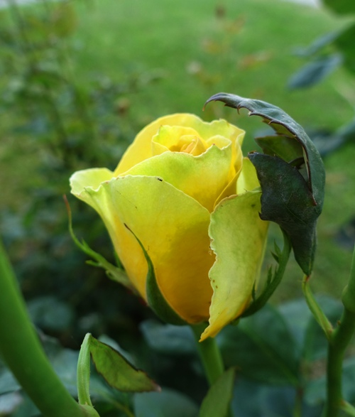 rose bud or rose bloom, st. patrick rose