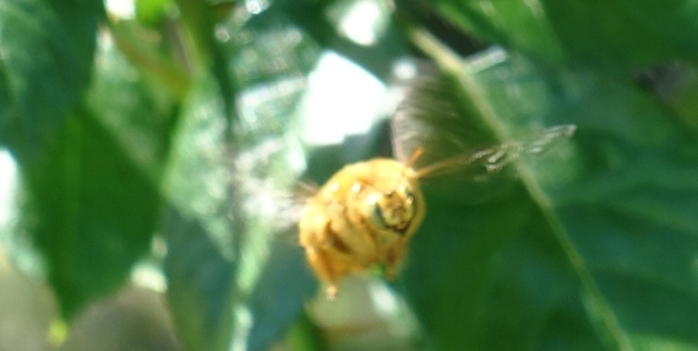 Valley Carpenter Bee, Xylocopa varipuncta, pollination, rose bushes, gold bee, snitch