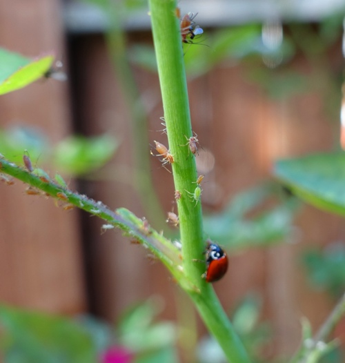 ladybugs, roses, aphids, rose garden, rose bushes