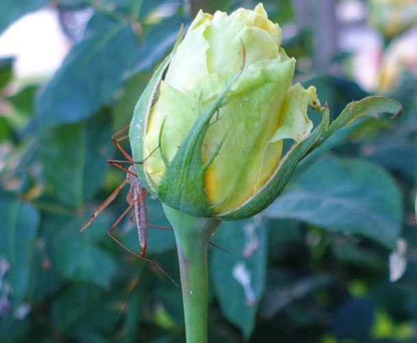 rose bud, insect, rose garden