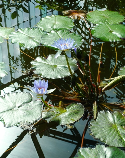 Water lily, greenhouse, tropical plants, shinjuku gyoen