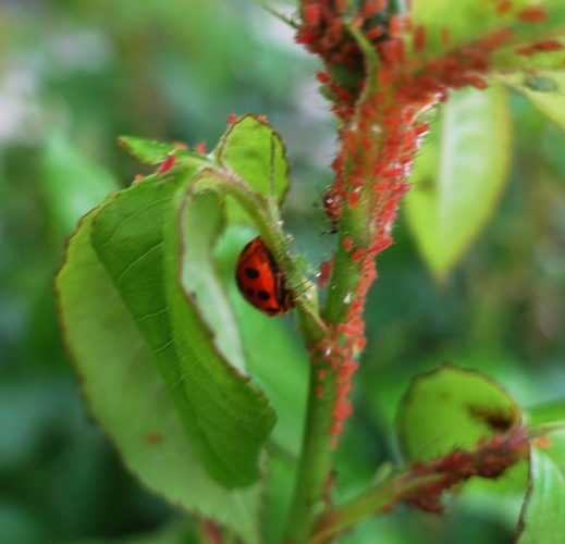 rose buds, aphids, ladybugs, pest control, rose garden