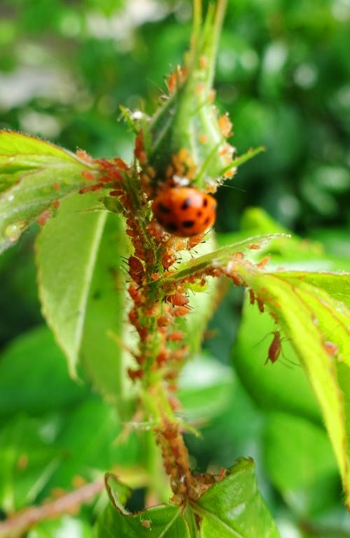 aphids, roses, rose bud, ladybug