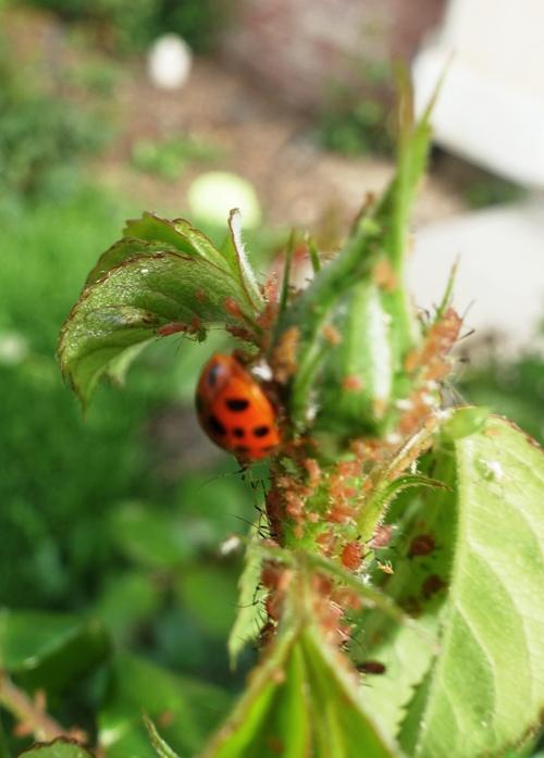 roses, aphids, ladybug, pest conrol