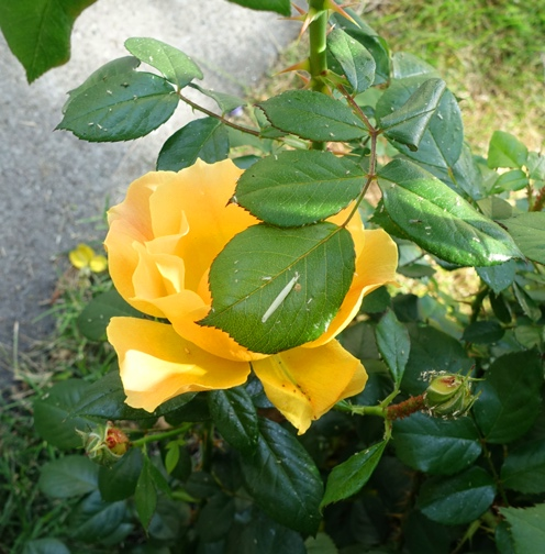 Yellow Floribunda rose, first roses of year