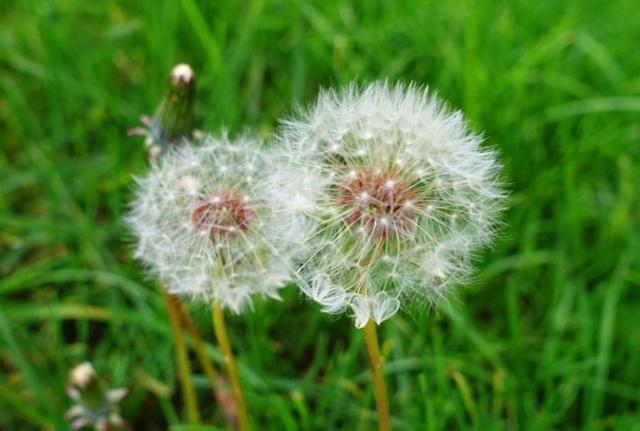 dandelions, spring, weeds, bee food