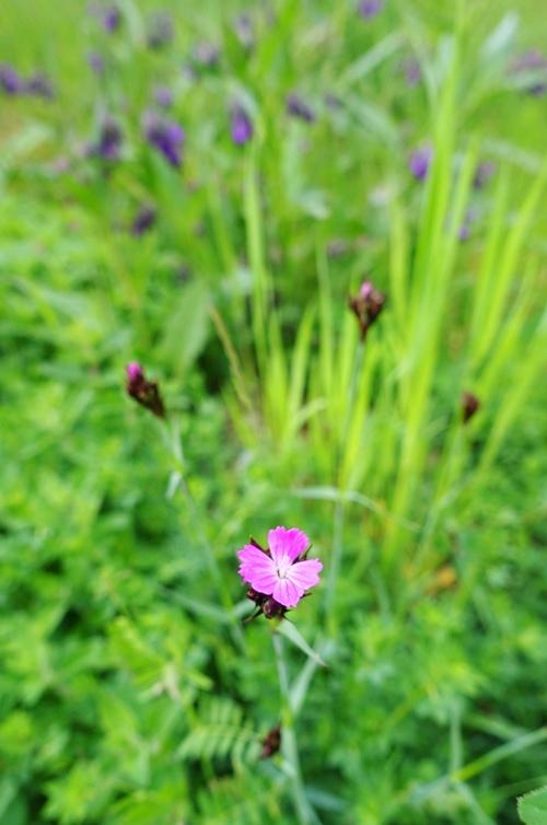 wild flowers, jena, germany, spring
