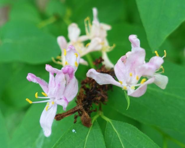 lavender blossoms, germany, spirng