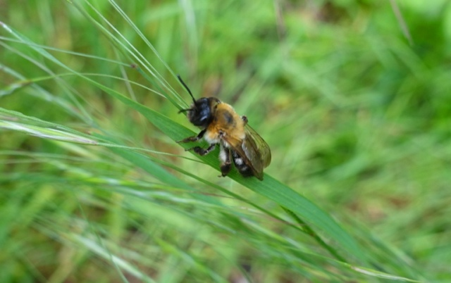 bee in grass, walk, Jena, Germany, insects