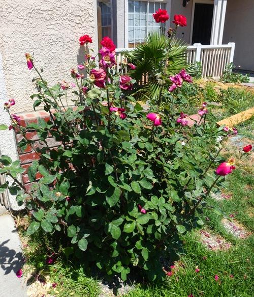 pruning rose bushes, yard work, roses, dead head