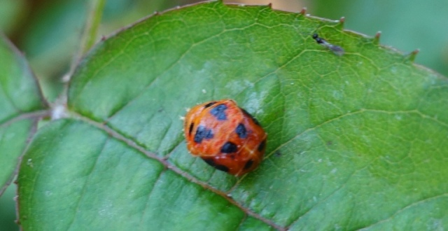 ladybug pupae, ladybugs, nature