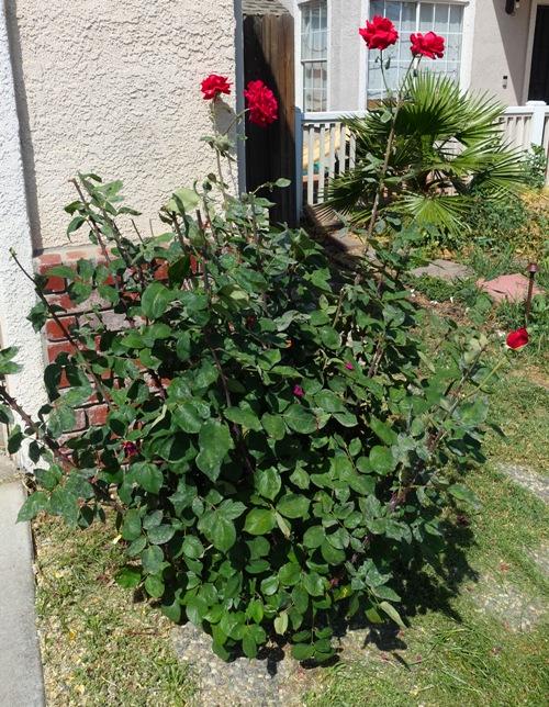 rose bushes, cutting back blooms, yard work