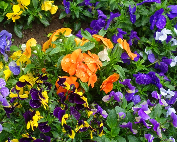 petunias, flower beds, rain
