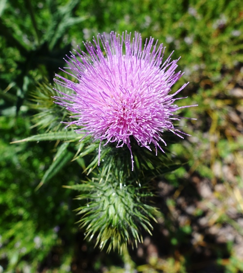 Friday Walk, Nature, flowers, thistle