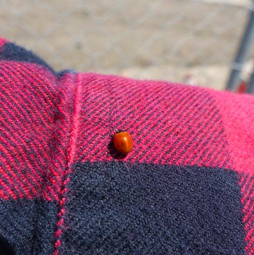 Ladybug, plaid shirt, nature, bugs