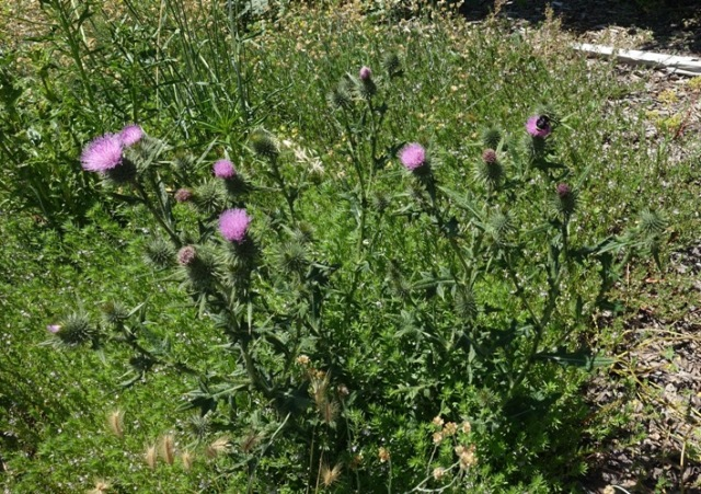 thistles, flora and fauna, purple thistle, bee